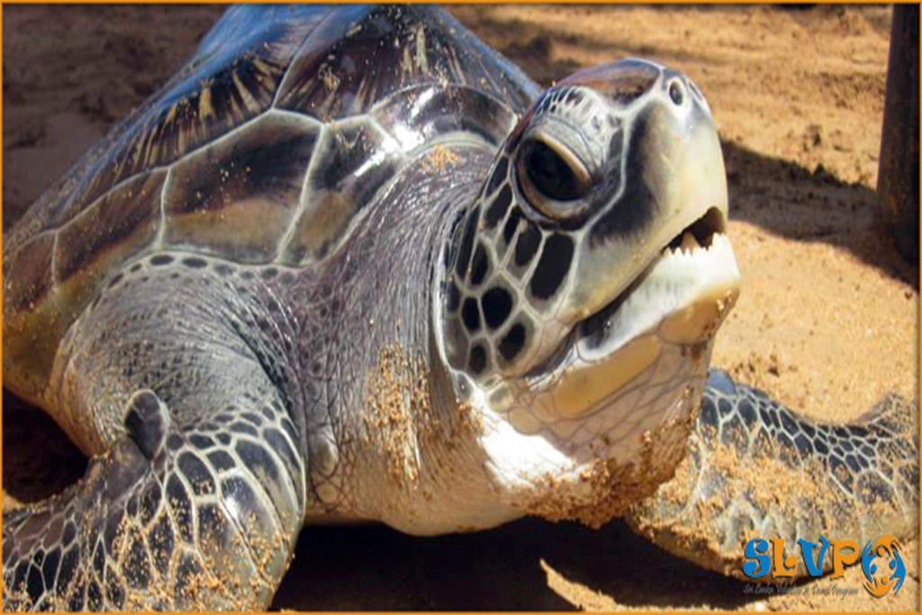 Rekawa Turtle Sanctuary tour